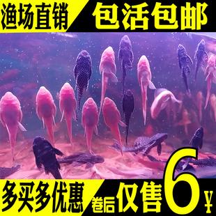 观赏金鱼垃圾鱼热带工具鱼冷水锦鲤鱼鹦鹉鱼女王清道夫鱼活体