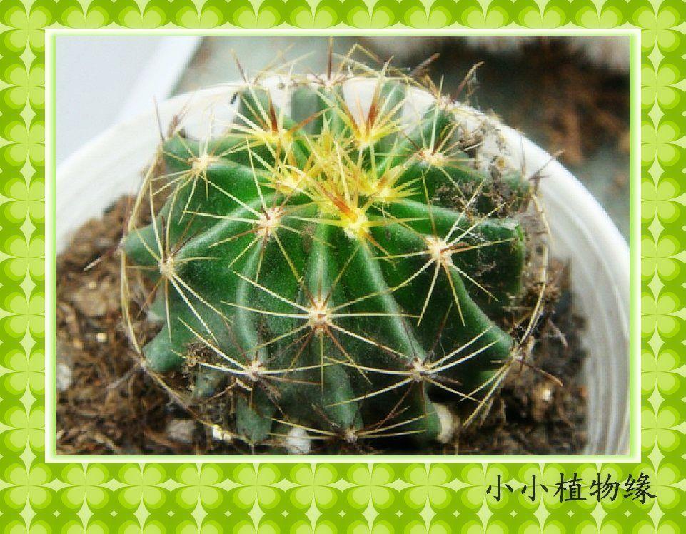 龙王球 实生仙人球 实生仙人球苗 实生球花卉盆栽 迷你植物 4cm