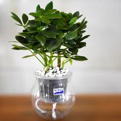 七叶莲盆栽鹅掌柴鸭掌木鸭脚木四季常青室内客厅吸甲醛绿植