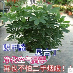 室内盆栽植物鹅掌柴苗招财树鸭脚木七叶莲净化空气吸尼古丁去甲醛