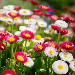 小雏菊种子草莓雪糕进口花卉抗寒 香草盆栽菊花驱蚊四季夏季种子