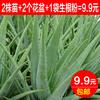 库拉索芦荟盆栽室内植物美容绿植苗叶片可食用补水保湿办公室花卉